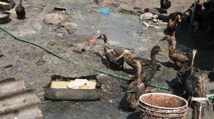 काठमाडौंमा देखियो बर्ड फ्लु : २३ सय पन्छी नष्ट गरियो